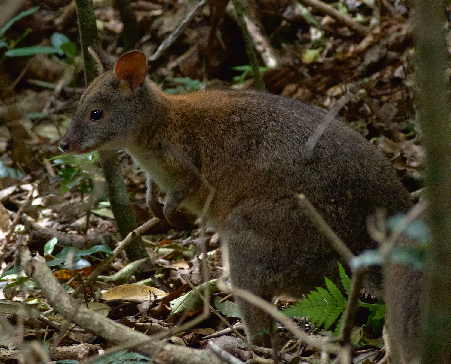Baby Red-necked Pademelon.jpeg