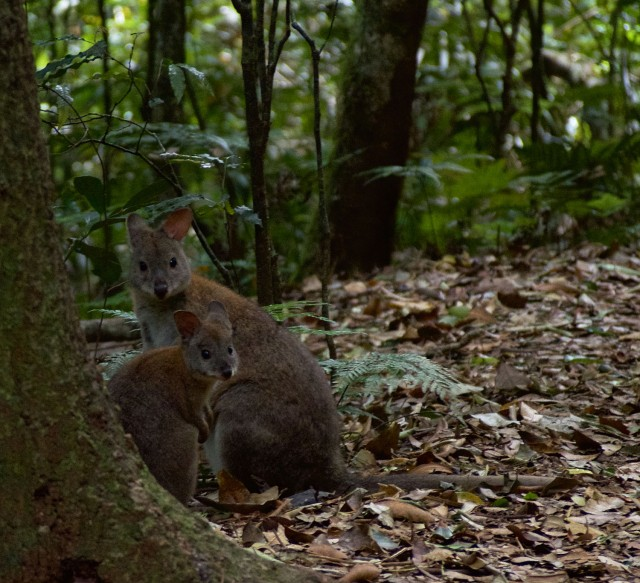 Red-Necked Pademelon.jpeg